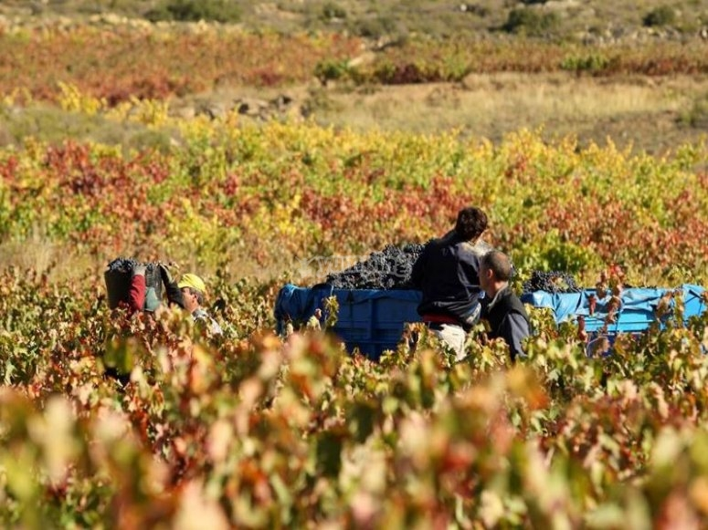 Picking the grapes in the vineyards