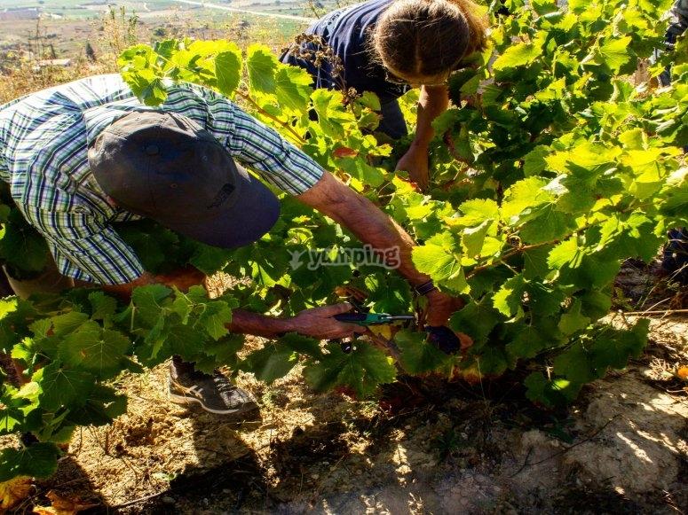 切割葡萄簇的艰苦工作