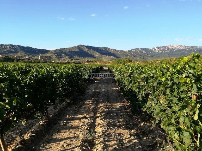 阿拉瓦葡萄园全景