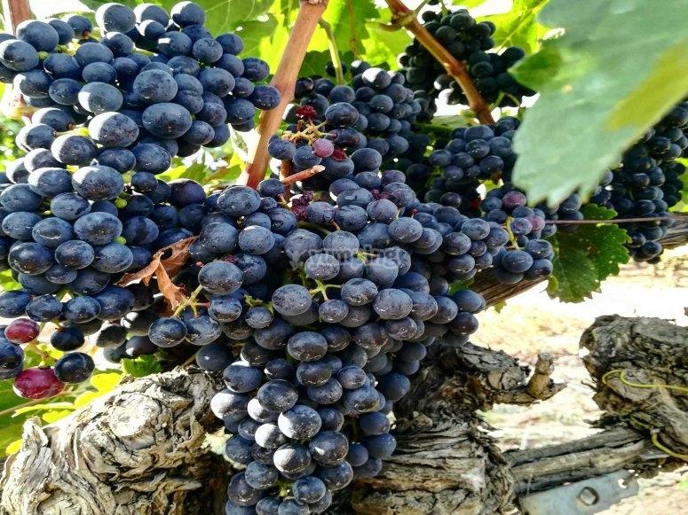 用以生产优质产品的葡萄簇