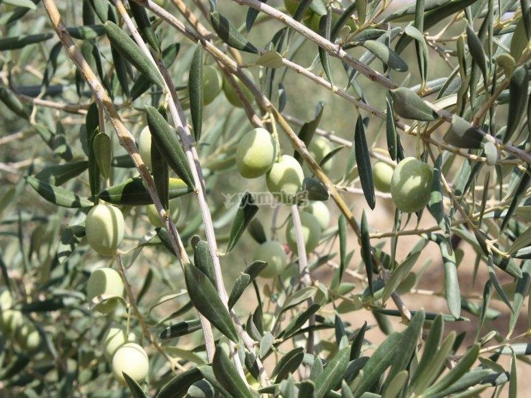 Tour de la oliva aloreña