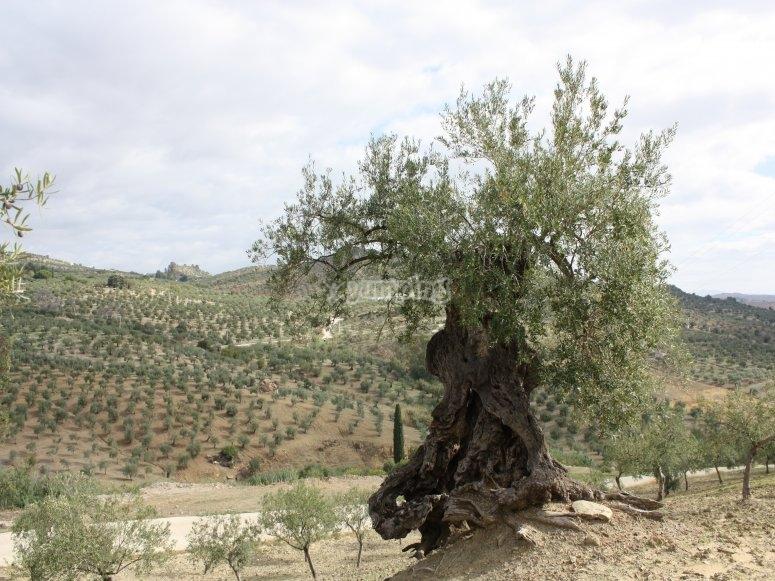 Ruta en 4x4 olivo milenario en Málaga