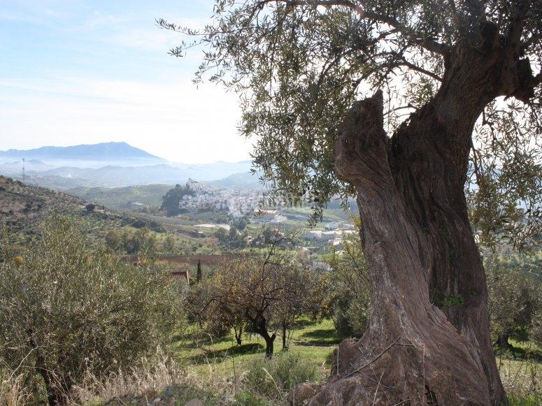 Vista de los olivos en Sierra de las Nieves