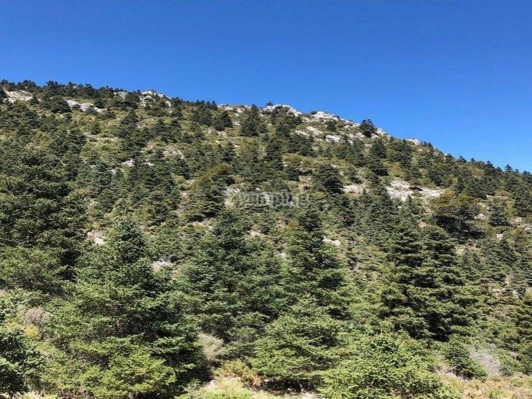 Hectáreas de bosque de pinsapos