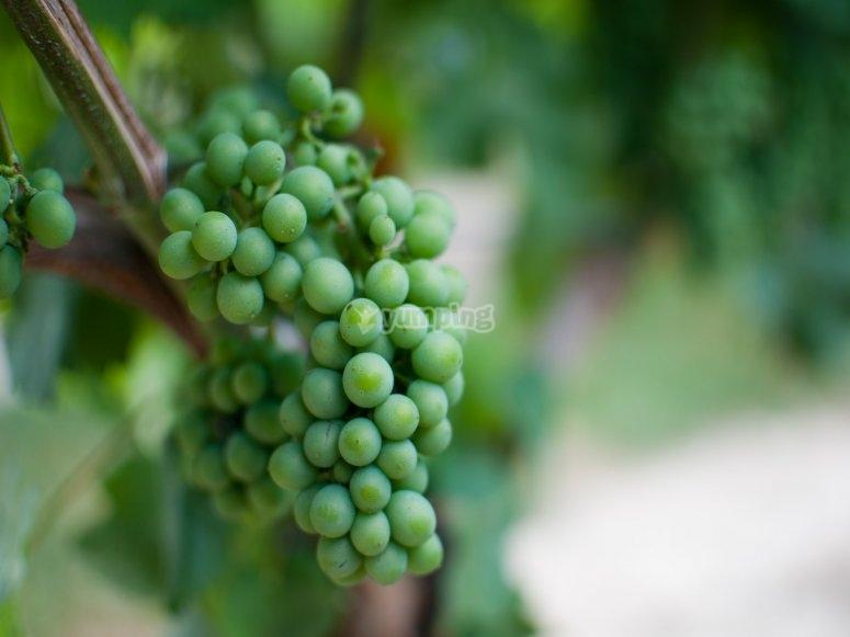 梅乐葡萄种植