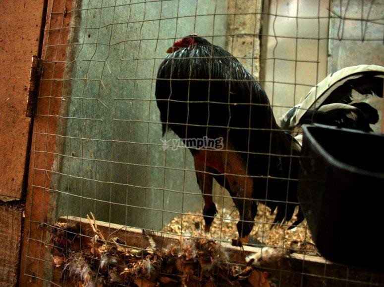 Hauser es conocido por organizar peleas de gallos clandestinas