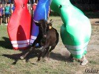 与小母牛的游戏