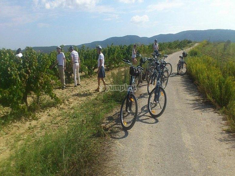 在Penedés葡萄园里骑自行车