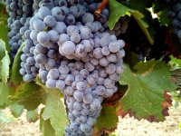 Wander through the vineyards