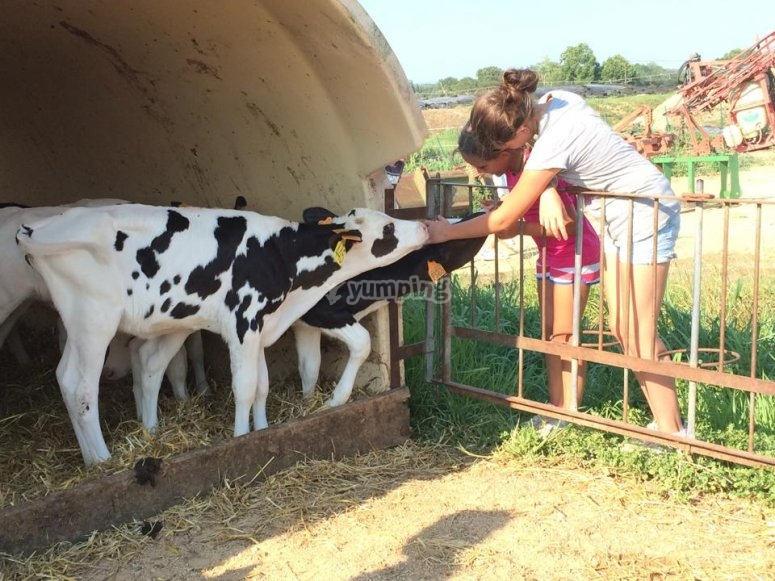 Visita a una granja de vacas