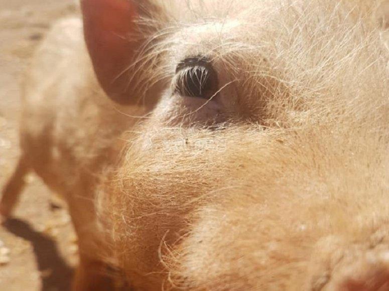农场中的一头猪