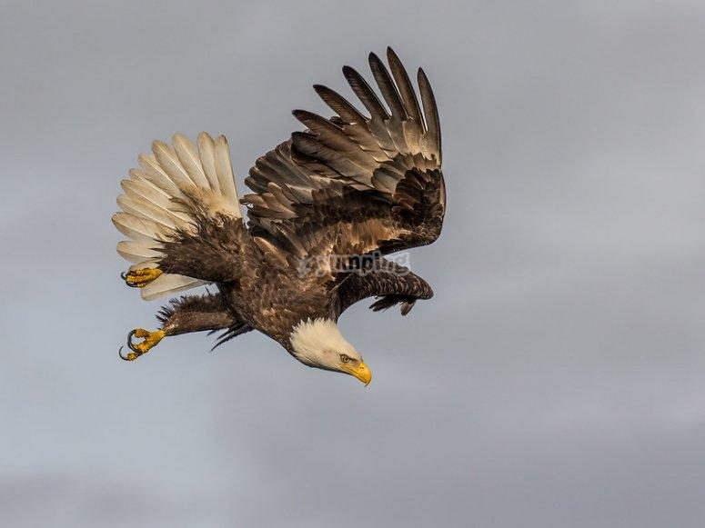 Águila realizando un descenso
