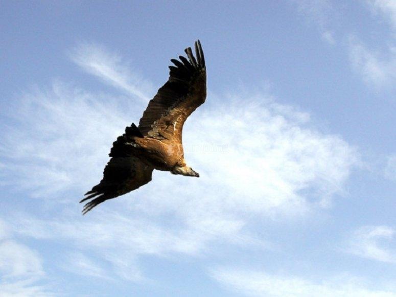 Buitre volando por el cielo