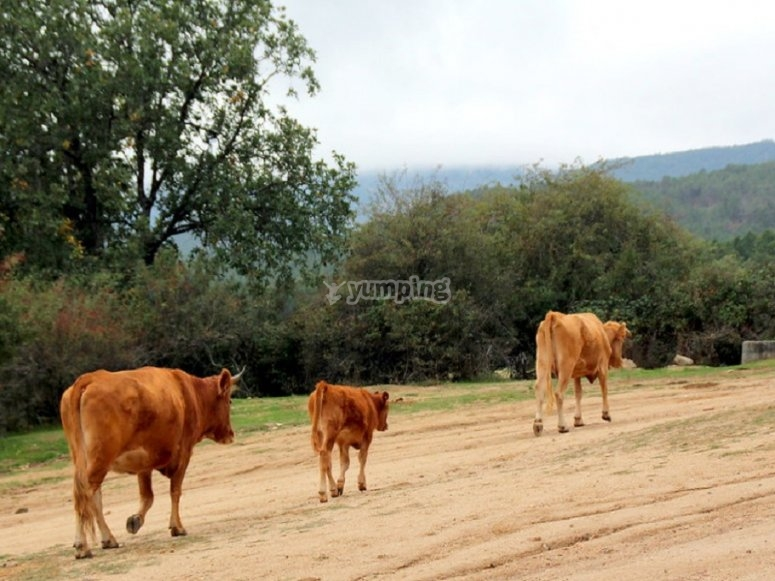 Vacas serranas autóctonas de Andalucía