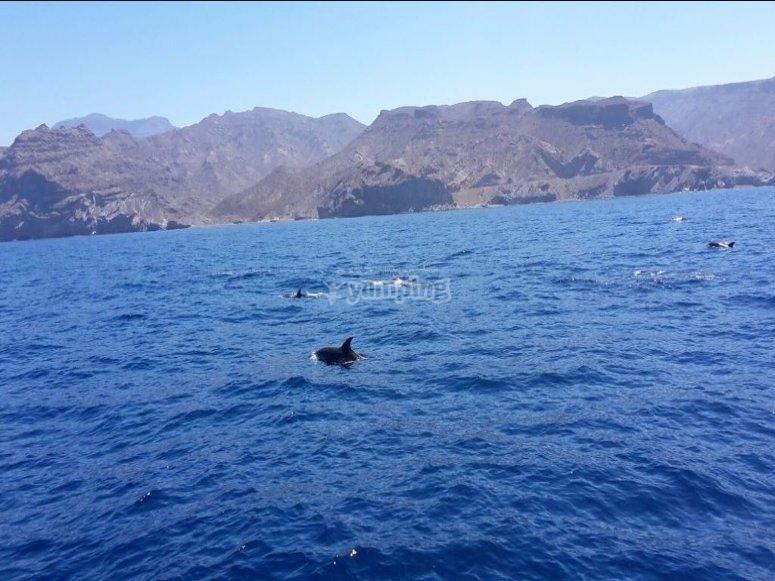 在加那利海岸的海豚群