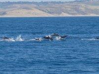 在大西洋中的海豚家族