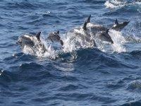 阿特兰蒂达双体船海豚在塔里塔里