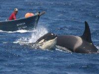 家庭逆戟鲸,逆戟鲸繁殖