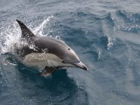 Spyhoping海豚共同标志Aventura的滨海