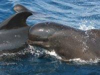 领航鲸抹香鲸