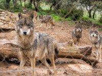 Manada de lobos que conoceremos durante la visita