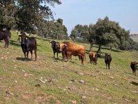 Cría de toros