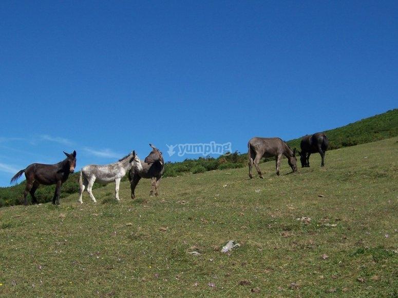 Mulas en Sierra Madrona