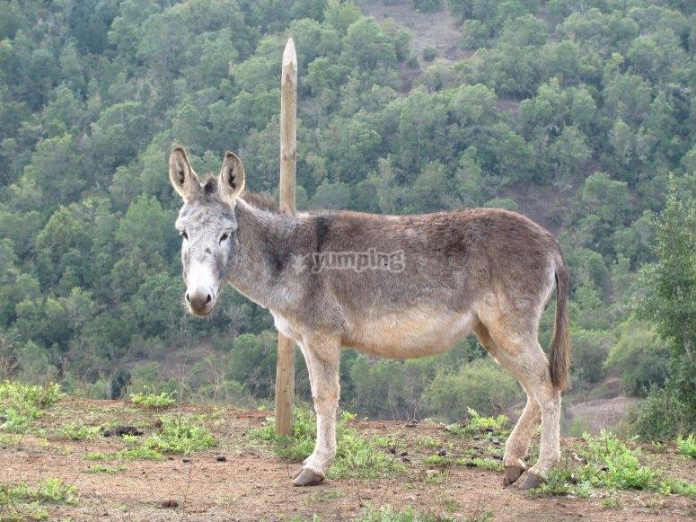 Paseo en mula por Sierra Madrona