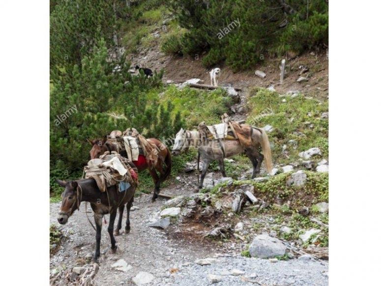 Vadeando un río con las mulas