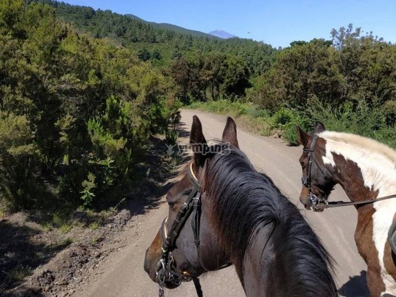 Horse riding in La Esperanza through fantastic pine forests