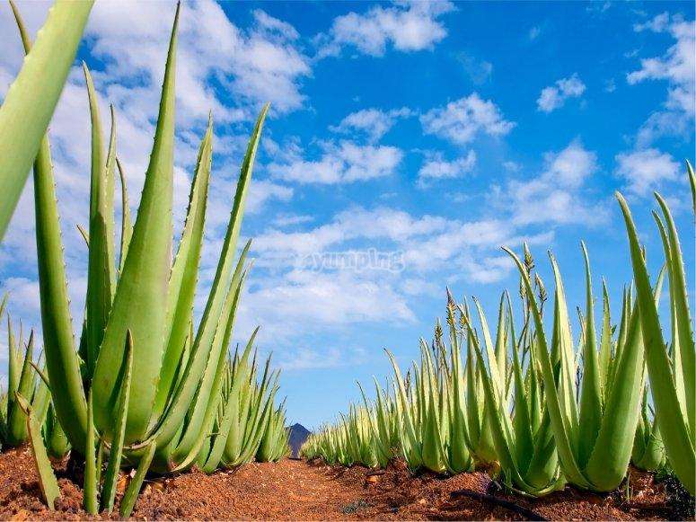 Las plantaciones de aloe vera son muy importantes en Fuerteventura