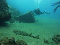 天使鲨潜水