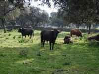 los toros en su habitat natural