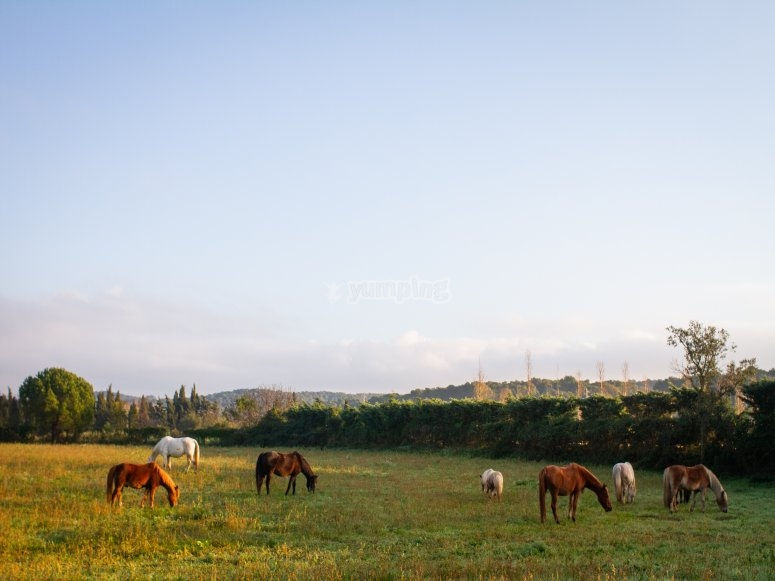 Horses grazing partially free