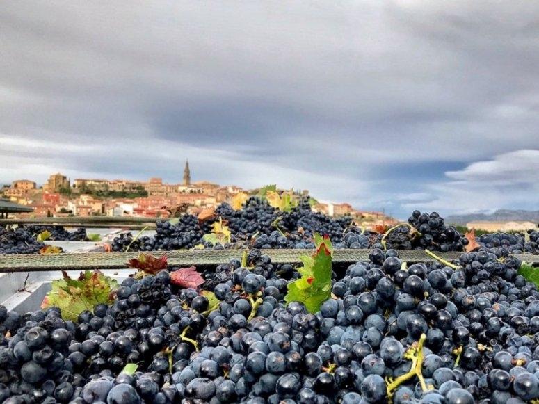 Los racimos de uva recién cogidos