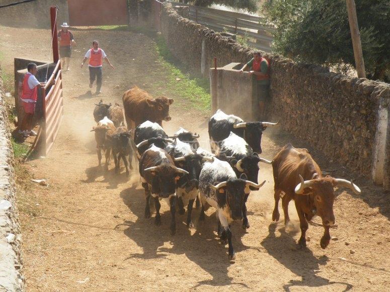 Aprendiendo a apartar ganado