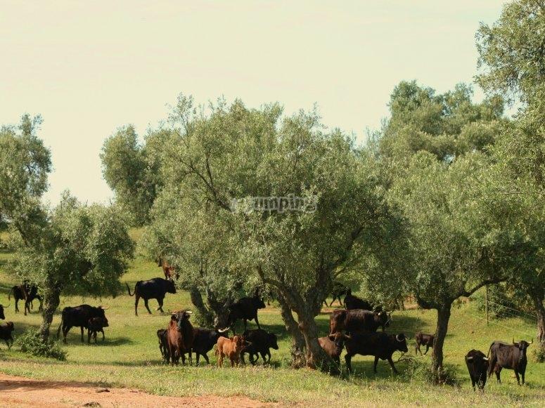 Lote de vacas en el olivar