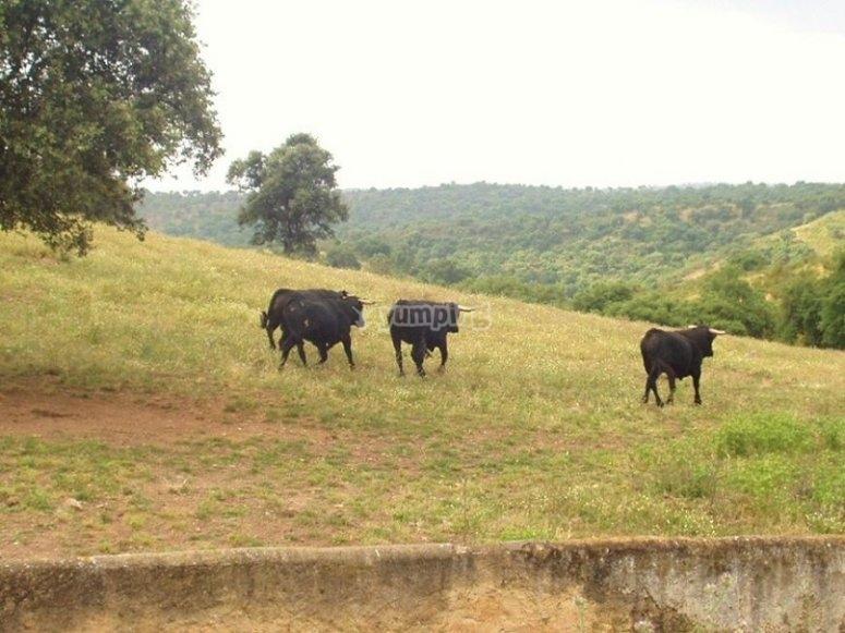 Hábitat natural del toro en la sierra sevillana