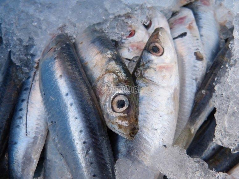 沙丁鱼新鲜捕获