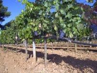 Recorremos las viñas mallorquinas