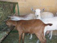 Cabras alimentandose