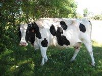 La vaca Margarit