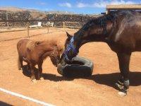 Caballo de pelaje oscuro y pony canela