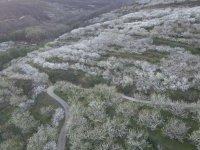 Vistas de cerezos en el Jerte