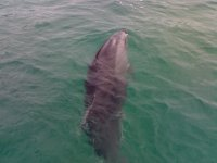 delfin en la superficie de la ria de vigo.jpg