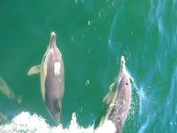 dos delfines recorriendo las aguas de la ria de vigo.jpg