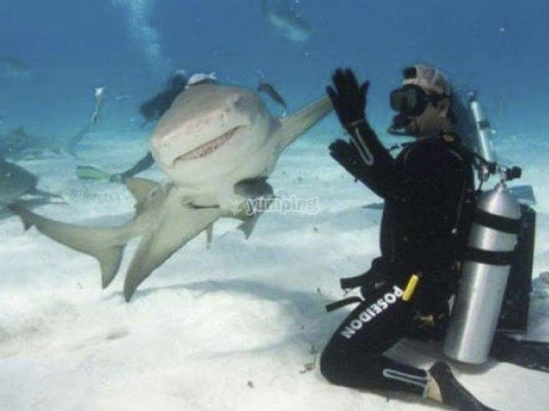 在鲨鱼中潜水