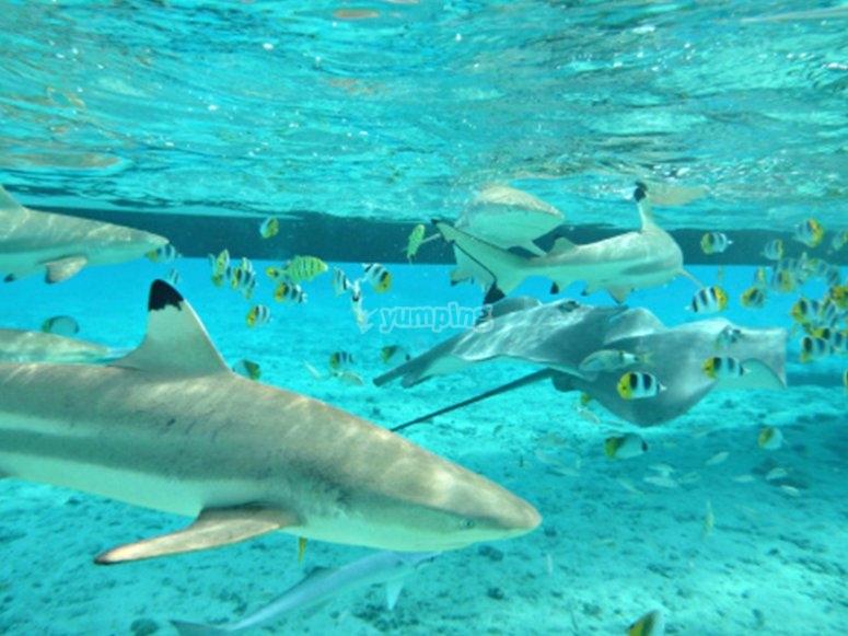 在塔吉塞海岸与鲨鱼潜水