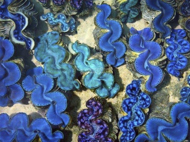 Disfrutando de curiosos arrecifes de Tridacnas