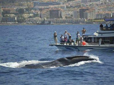 Avistamiento de cetáceos adultos Los Cristianos 2h